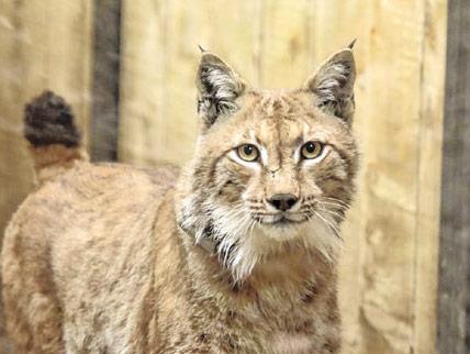 Projekt Life Lynx: Goru otac novog legla risovice Teje