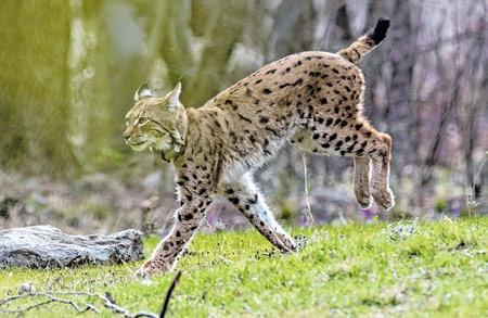 Life Lynx: U dvjema sezonama identificirano čak stotinjak risova