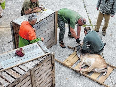 Jeleni i košute iz Delnica preseljeni su u Čabar i Buzet